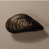 Scallops & Seahorses Collection 2'' W Mussel Knob Left Face in Antique Brass, 2'' W x 1'' D