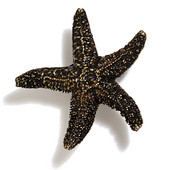 Scallops & Seahorses Collection 2-1/4'' Diameter Mini Starfish Knob in Antique Brass, 2-1/4'' Diameter x 3/4'' D